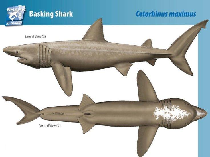 tiburon-peregrino-morfologia